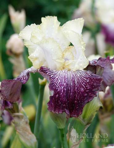Its No Secret  Bearded Iris