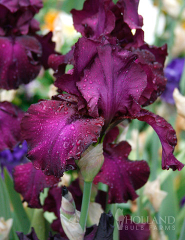 Berry Fulfilling Bearded Iris