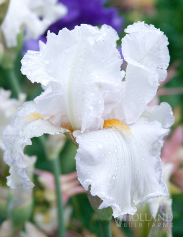 Winterfest Bearded Iris