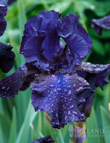 Blueberry Bliss Bearded Iris