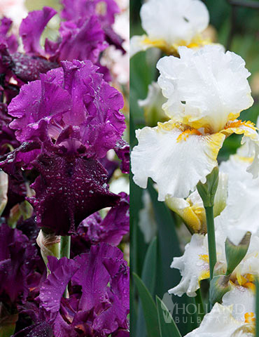 Plumkist Bearded Iris Collection