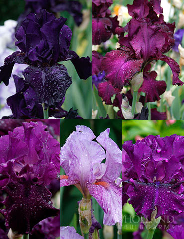 Waves of Purple Bearded Iris Collection