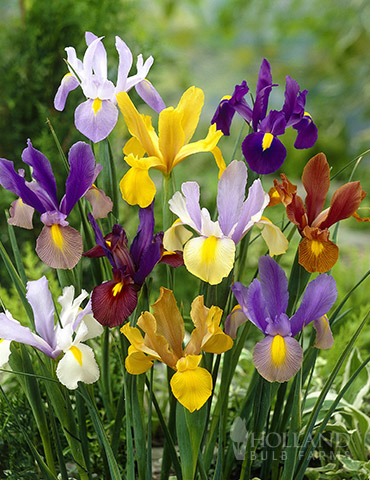 Mixed Tall Dutch Iris Value Bag