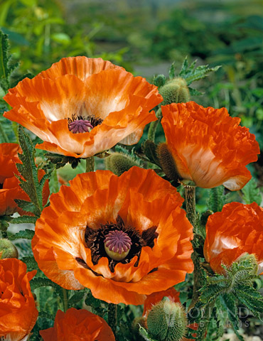 Pinnacle Oriental Poppy