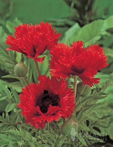Turkenlouise Oriental Poppy