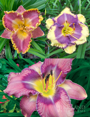 Fancy Frills Daylily Collection