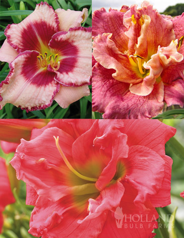 Frenzy of Pink Daylily Collection