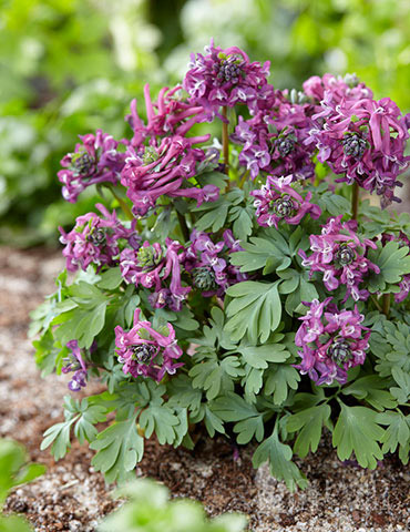Purple Bird Corydalis