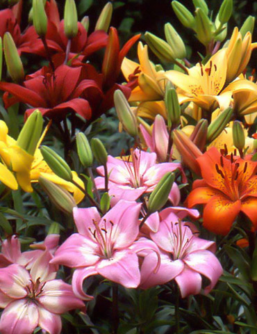 asiatic lily mix holland bulb farms 86168