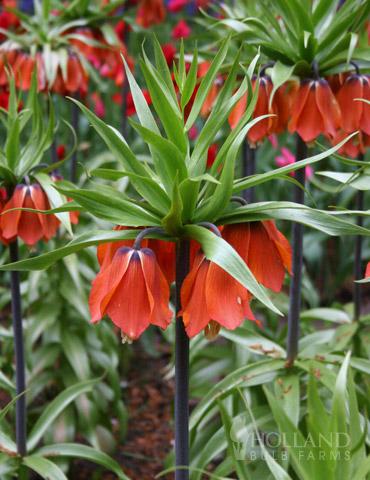Rubra Red Fritillaria