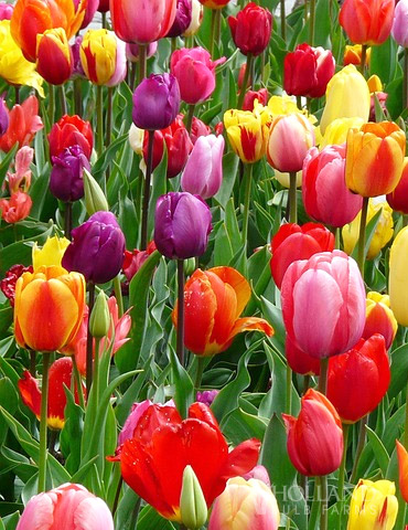 BULK Mixed Perennial Tulips (250) Bulbs - 88041