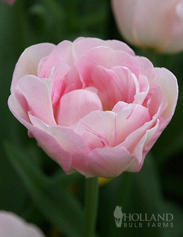 Finola Double Late Tulip