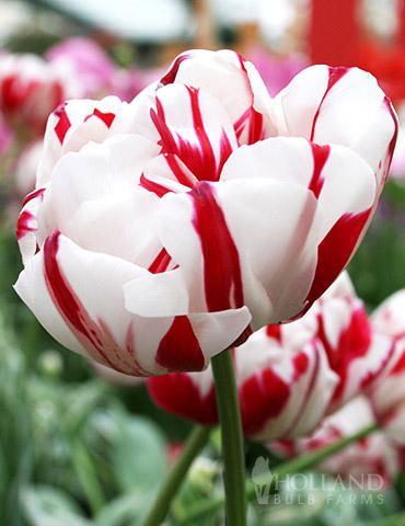 Carnaval de Nice Double Late Tulip