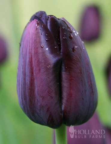 Queen of Night Single Late Black Tulip