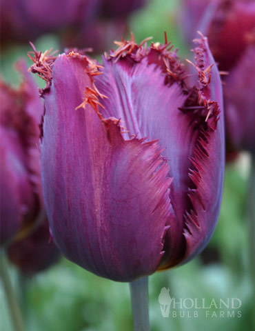 Curly Sue Fringed Tulip
