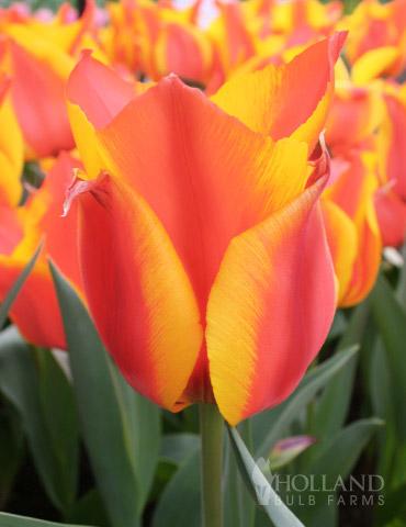 Compostella Bunch Flowering Tulip