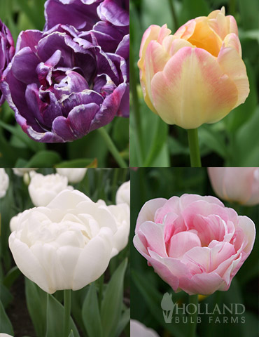 Elegant Double Tulip Collection