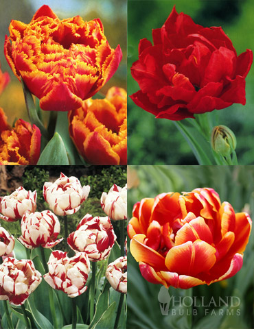 Robust Double Flowering Tulip Collection