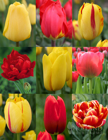 100 Blooms of Red and Yellow Tulips
