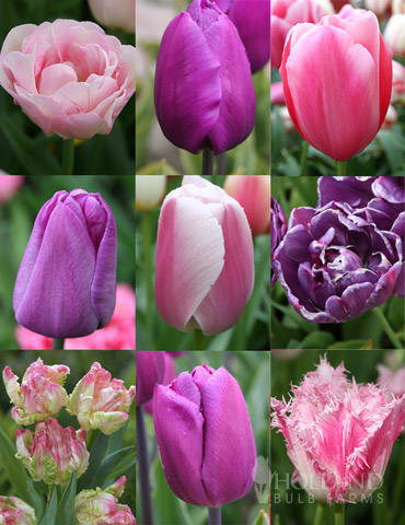 100 Blooms of Purple and Pink Tulips