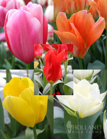 Fosteriana Tulip Collection