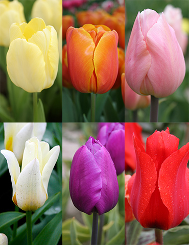 Early Spring Tulip Collection