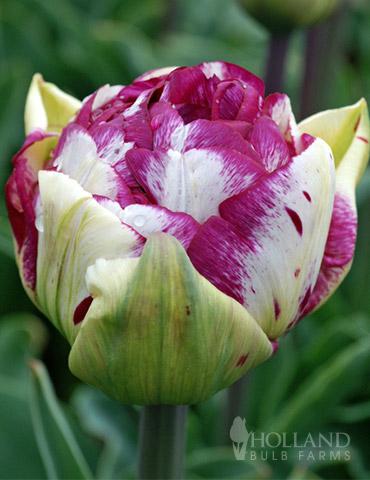 Jericho Double Tulip