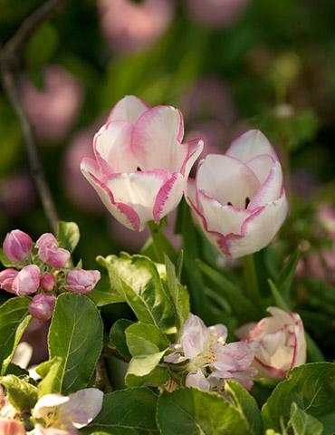 Del Piero Triumph Tulip