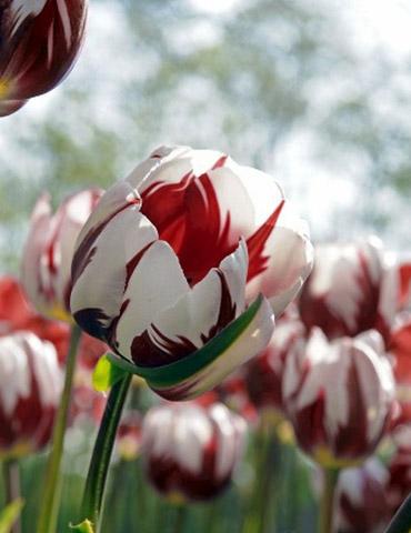 Grand Perfection Triumph Tulip