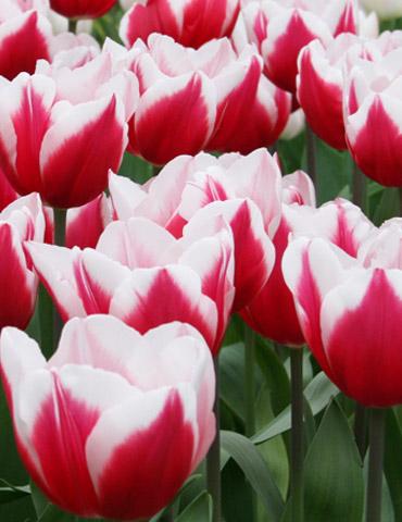Kelly Triumph Tulip