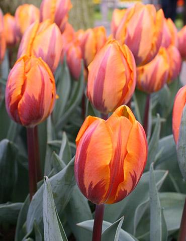 Princess Irene Triumph Tulip