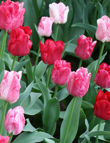 Hemisphere Triumph Tulip