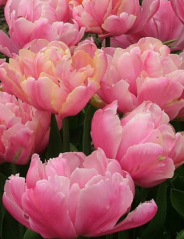 Pink Star Double Late Tulip