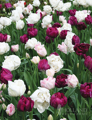 Up & Up Double Tulip Blend
