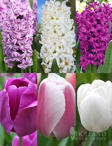 Fairy Dust Hyacinth & Tulip Collection