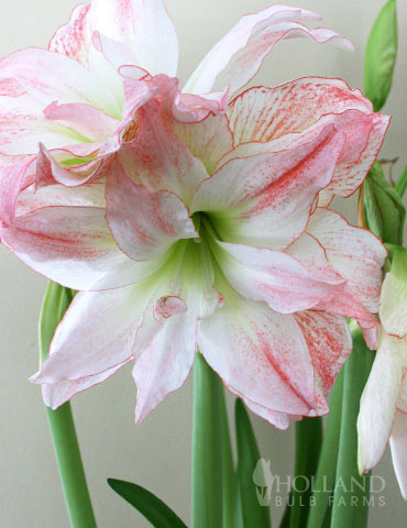 Double Record Amaryllis