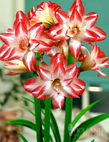 Exotic Peacock Amaryllis