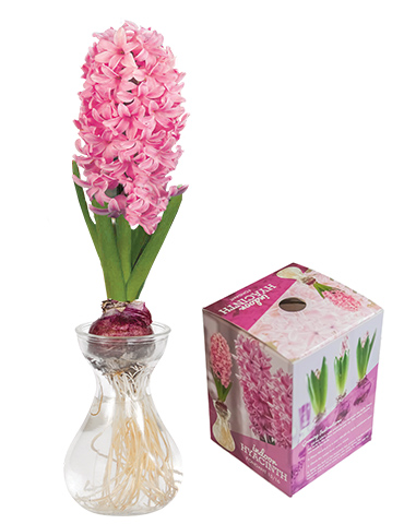 Fondant Hyacinth Forcing Kit