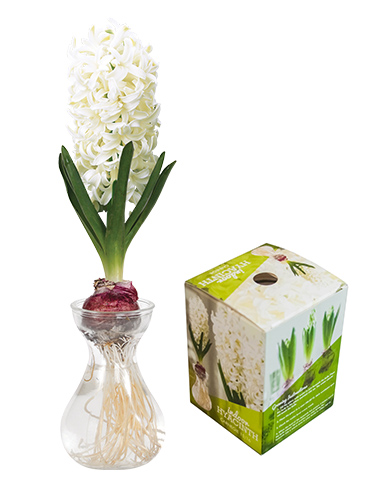 Carnegie Hyacinth Forcing Kit