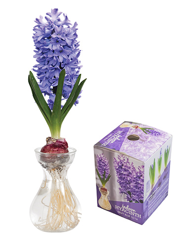 Delft Blue Hyacinth Forcing Kit
