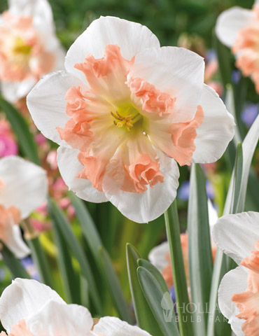Mallee Pink Daffodil