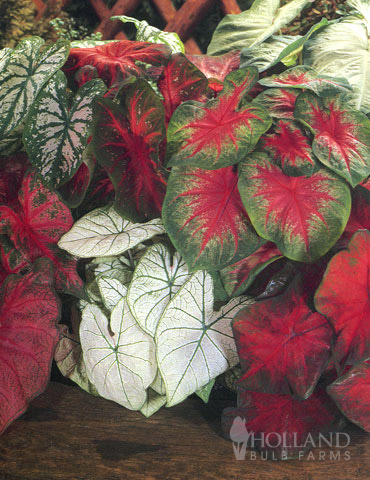 Caladium Mixed (5 per bag)