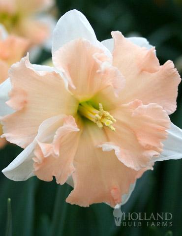 Vanilla Peach Butterfly Daffodil