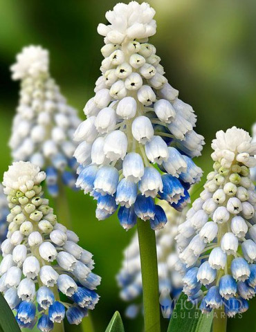 Mountain Lady Muscari