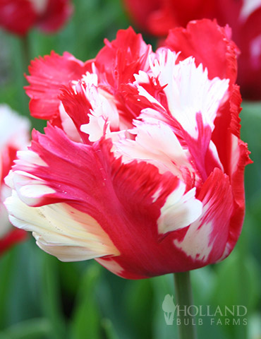 Destiny (Estella Rijnveld) Parrot Tulip