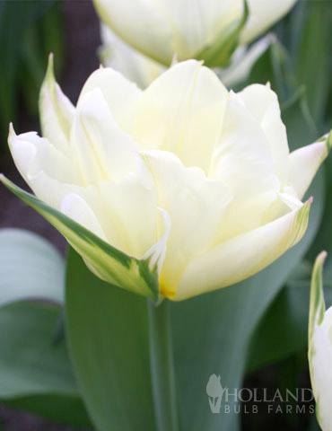 Exotic Emperor Tulip - 88324