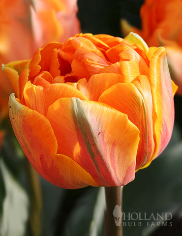Orca Double Tulips