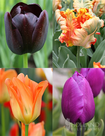 Orange & Purple Tulip Collection
