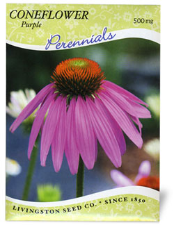 Coneflower Purple - 75591
